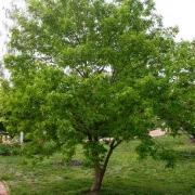 Trident maple tree