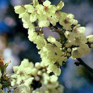 Ukon-flowering-cherry