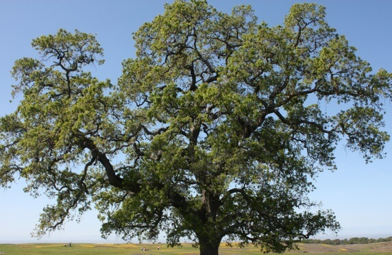 Valley Oak