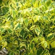 Variegated-Box-Elder