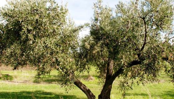 Verdale Olive Tree