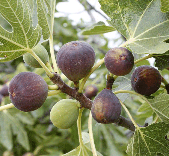 Black Genoa Fig Tree