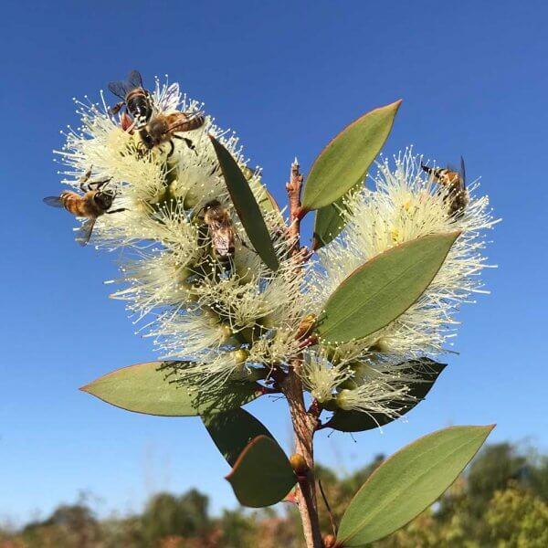 Broad Leaved Paperbark (Melaleuca Quinquenervia)