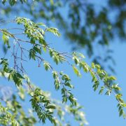 chinese-elm-branch