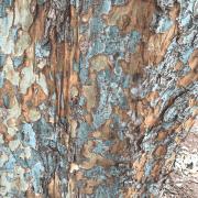 chinese-elm-ulmus-parvifolia-bark