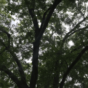 chinese-elm-ulmus-parvifolia-canopy