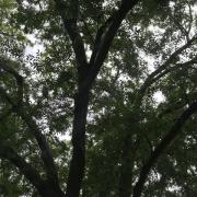 chinese-elm-ulmus-parvifolia-canopy