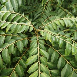 Curry Leaf Tree (Murraya Koenigii)