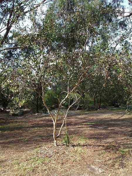 Eucalyptus Platypus