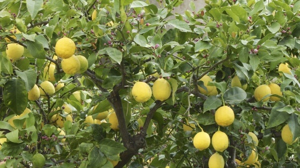 eureka-lemon-tree