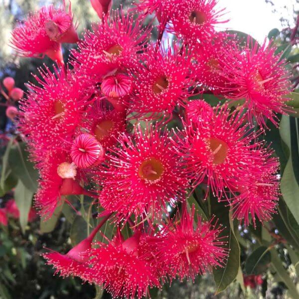 Flowers of the Red Flowering Gum