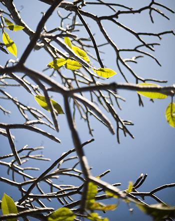 frangipani-new-leaves