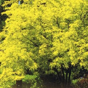 gleditsia-sunburst-photo-label