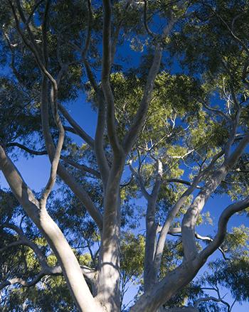 gum-tree