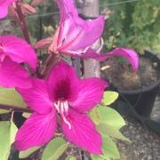 Hong Kong Orchid Tree (Bauhinia Purpurea) Flower