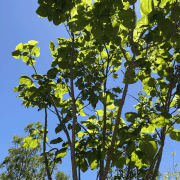 Indian Bean Tree (Catalpa bignonioides) Canopy