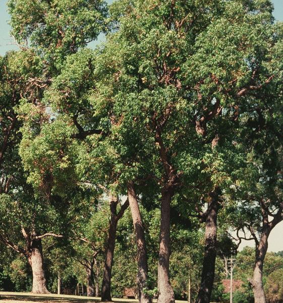 Jarrah (Eucalyptus Marginata)