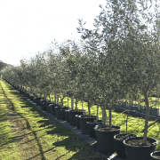 kalamata-olive-olea-europaea