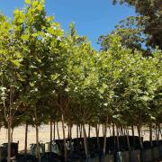 london-plane-platanus-acerifolia