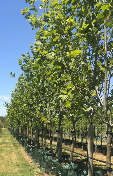 London Plane (Platanus Acerifolia)