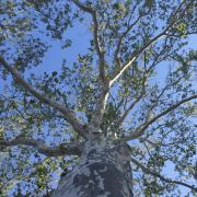 london-plane-platanus-acerifolia-underneath