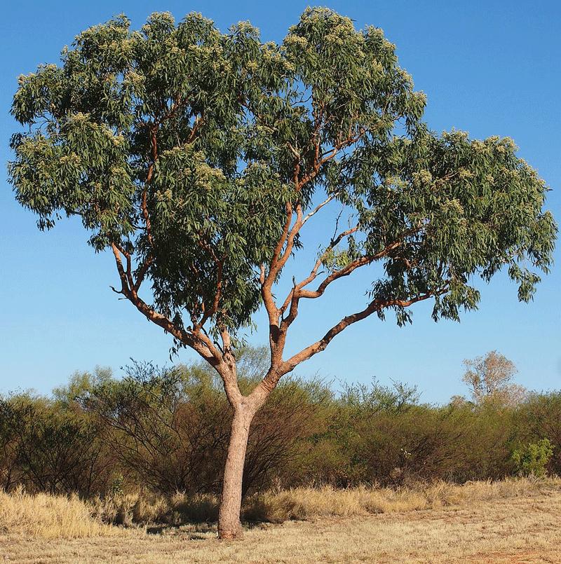 Marri Corymbia Calophylla