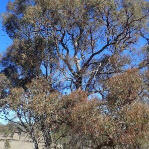narrow-leaved black peppermint eucalyptus nicholii