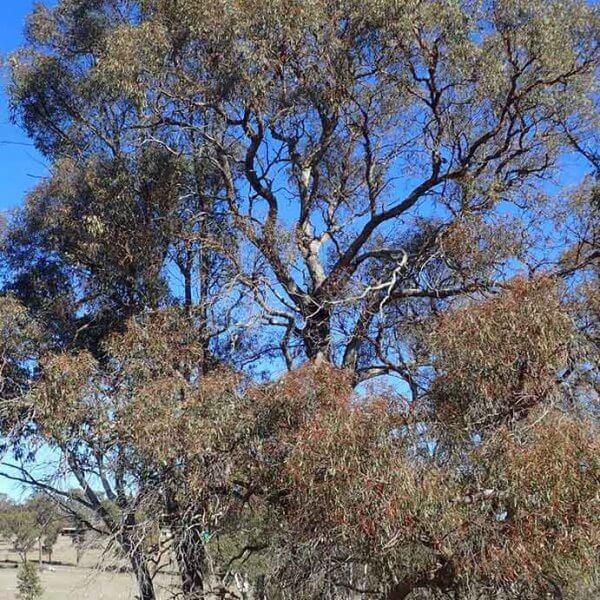 narrow-leaved black peppermint eucalyptus nicholii