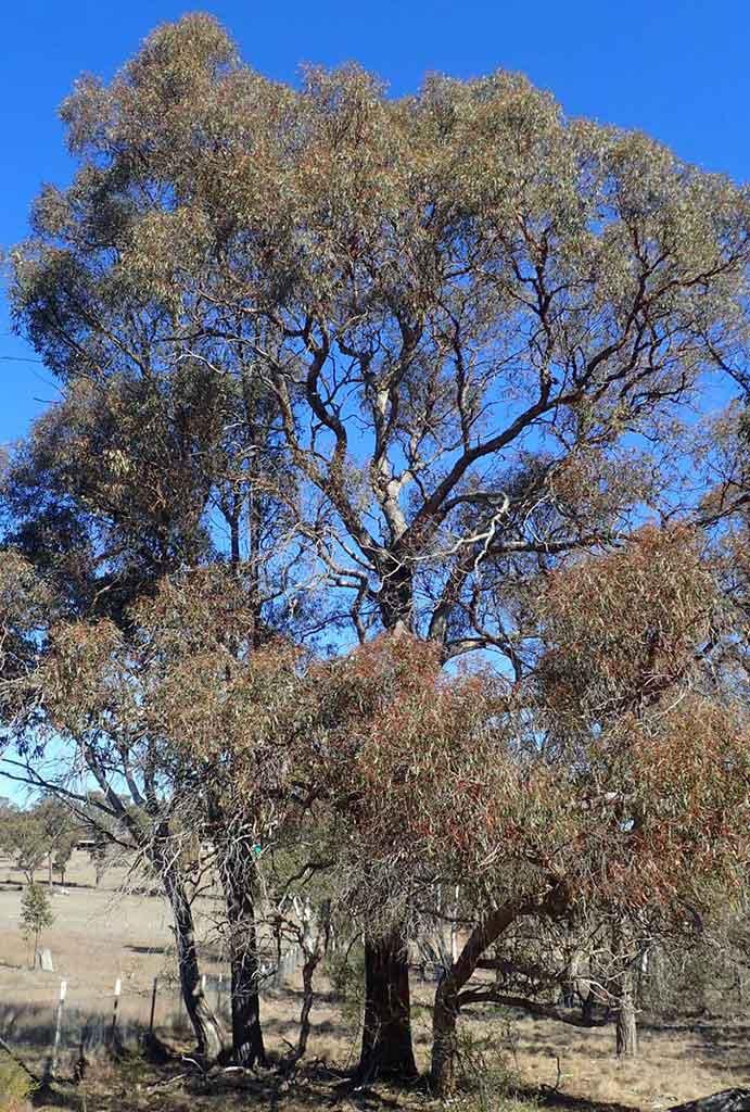 Narrow Leaved Black Peppermint Eucalyptus Nicholii