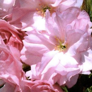 new-red-flowering-cherry