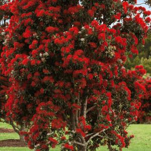 New Zealand Christmas Tree (Metrosideros Thomasii)