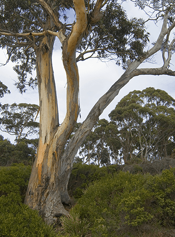 old-gum-tree
