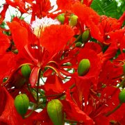 poinciana-delonix-regia-red-flowers
