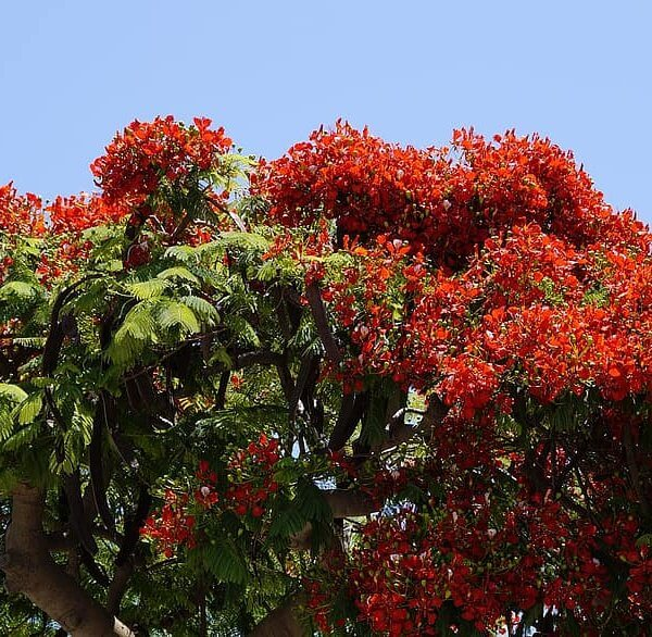 poinciana delonix regia tree