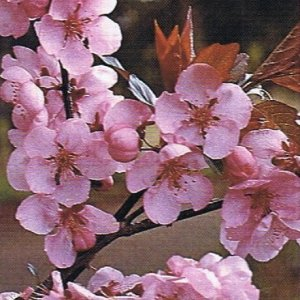 prunus-single-pink-flowering-plum-label-photo