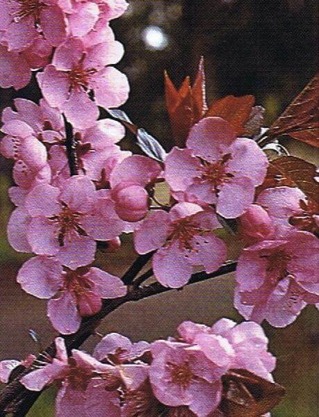 prunus-single-pink-flowering-plum-label-photo