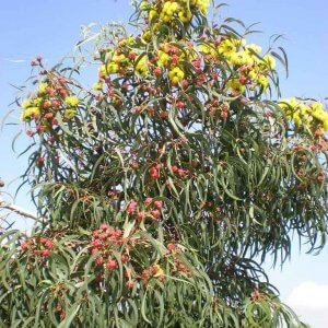 Red Capped Gum
