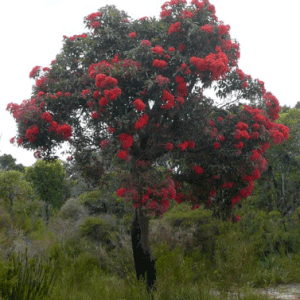 Red Flowering Gum (Corymbia Ficafolia)