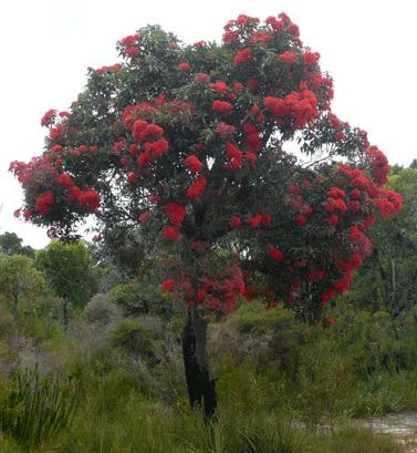 Red Flowering Gum (Corymbia Ficafolia)