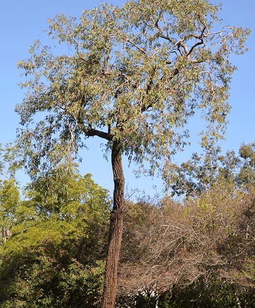 Red Ironbark (Eucalyptus Sideroxylon Rosea)