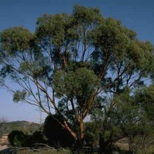 Salt River Gum (Eucalyptus sargentii)