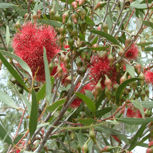 silver princess eucalyptus caesia magna