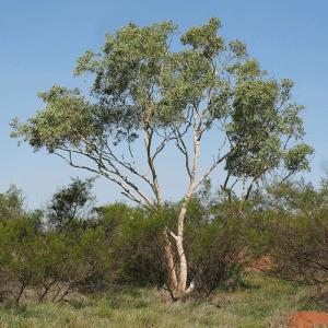 snow queen eucalyptus victrix