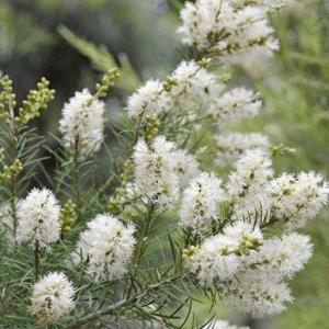 Swamp Paperback (Melaleuca rhaphiophylla)