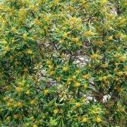 tristaniopsis laurina flowers
