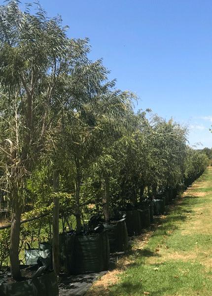 WA Peppermint Tree (Agonis flexuosa)