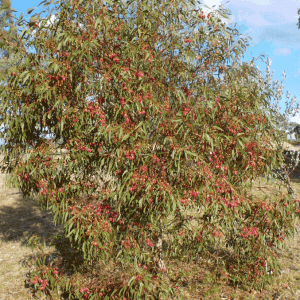 Red Flowering Yellow Gum (Eucalyptus Leucoxylon Rosea)