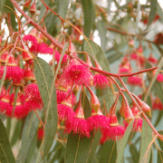 Yellow Gum Eucalyptus Flowers