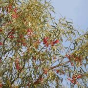 Yellow Gum Eucalyptus Leaves